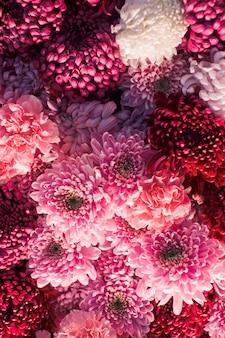 Wunderschöne rosa und rote chrysanthemen an der wand
