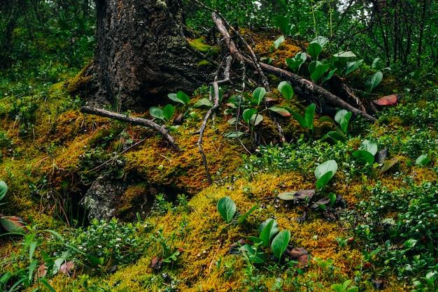 Wunderschöne taiga-landschaft mit reicher flora am moosigen hang. grüne rote blätter von bergenia crassifolia unter dichtem moos am berghang. atmosphärische grüne waldlandschaft mit frischem grün.
