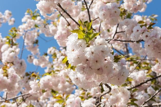 Wunderschöne und zarte kirschblüten an einem sonnigen tag, blauer himmel.