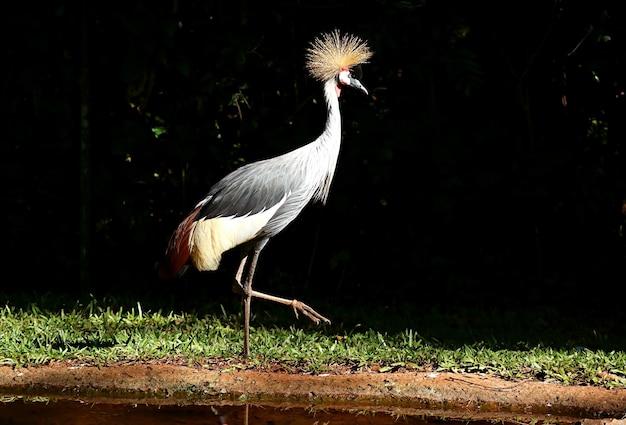 Wunderschöner grauer gekrönter kranichvogel, der entlang des teiches, foz do iguacu, brasilien geht