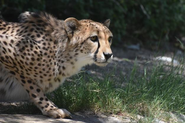 Wunderschöner hockender gepard mit einem glatten gefleckten fell