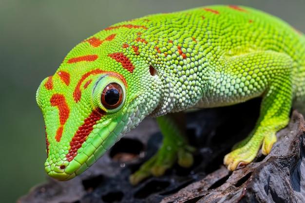 Wunderschöner madagaskar-riesen-taggecko auf trockener knospe