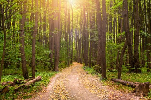 Wunderschönes herbstgelbwaldpanorama mit dem sonnenstrahl durch bäume