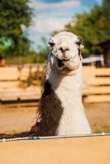Wunderschönes lama. nahaufnahme eines lamas, das beim stehen im zoo in die kamera schaut
