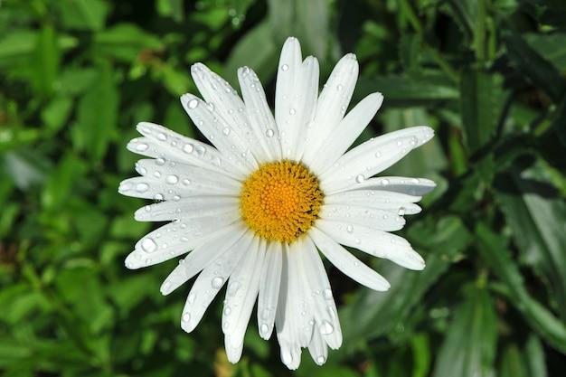Wunderschönes weißes gänseblümchen (leucanthemum vulgare) mit tautropfen-nahaufnahme.