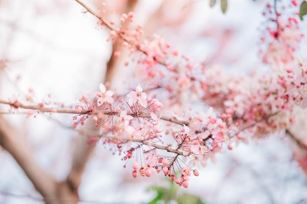 Wunschbaum, pink shower, pink cassia sind schöne rosa blumen von thailand.