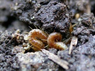 Wurm wie insekten