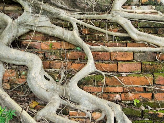 Wurzelbaum deckte schmutzige alte backsteinmauer mit dem befestigten moos, hintergrundbeschaffenheit ab