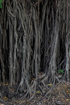 Wurzeln des banyanbaums