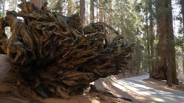 Wurzeln von gefallenem mammutbaum, riesiger redwood-baumstamm im wald. entwurzelte große kiefer.