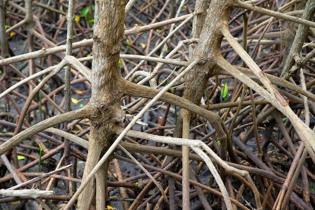 Wurzeln von mangrovenbäumen. im fruchtbaren mangrovenwald.