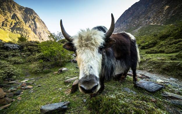Yak der himalajawild lebenden tiere, gorkha, nepal