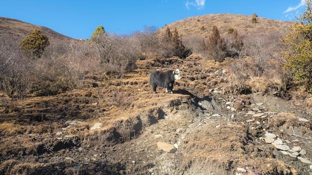Yak ist ein tier für menschen, das sich im berg befindet