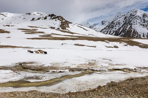 Yaks auf dem hochlandplateau des nationalparks khunjerab