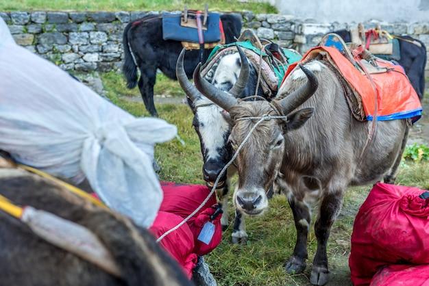 Yaks mit waren auf dem weg zum everest-basislager