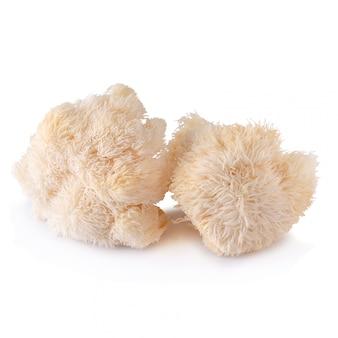 Yamabushitake-pilz oder löwemähnenpilz lokalisiert über weißem hintergrund.