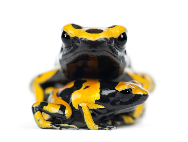 Yellow-banded poison dart frogs, auch bekannt als yellow-headed poison dart frog und bumblebee poison frog, dendrobates leucomelas,