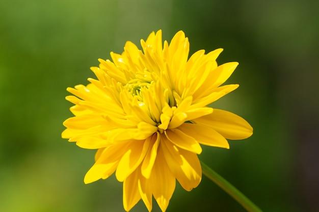 Yellow terry rudbeckia ist eine goldene kugel auf einem natürlichen grünen hintergrund.