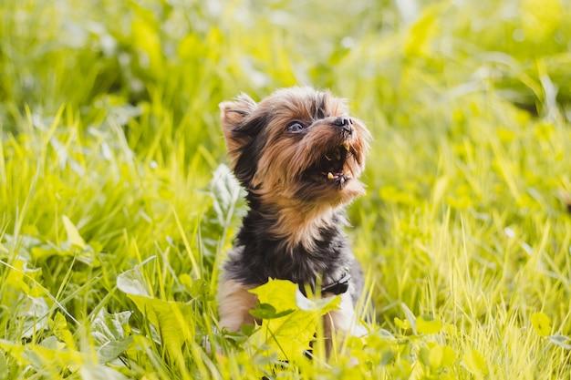 Yokshire terrier für einen spaziergang im gras