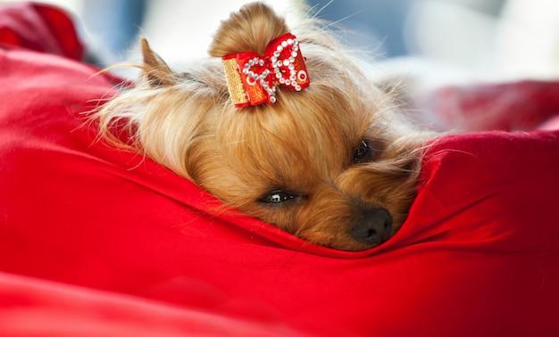 Yorkshire-hund, der nach schönheitsbehandlung sich entspannt.