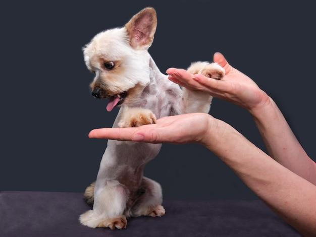 Yorkshire terrier auf dem tisch. ein kleiner hund mit einer roten leine gibt eine pfote.