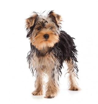 Yorkshire terrier, der kamera betrachtet