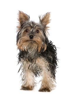 Yorkshire terrier hundeporträt isoliert