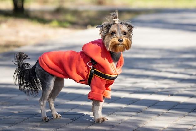 Yorkshire-terrier im park