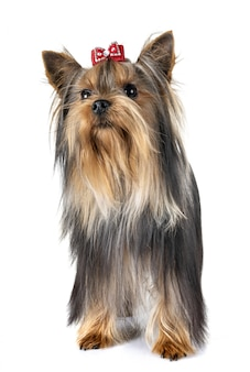 Yorkshire-terrier im studio
