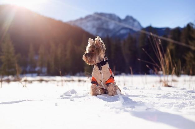 Yorkshire-terrier im tragenden overall des schnees