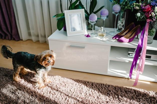 Yorkshire-terrier in der nähe von hochzeitszusatzbraut am hochzeitstag. festlicher hund. hochzeitsvorbereitungen. stilvolle violette damenschuhe, ohrringe, blumenstrauß, kerzen und parfums.
