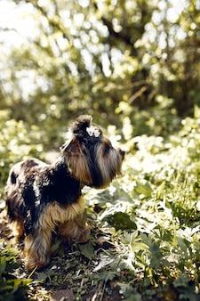 Yorkshire-terrier. kleiner süßer hund auf einem spaziergang im park. heller hintergrund mit bokeh