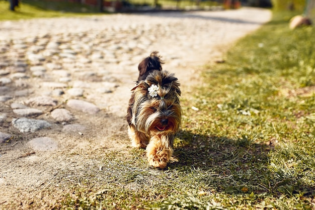 Yorkshire-terrier. kleiner süßer hund auf einem spaziergang in der straße. heller hintergrund mit bokeh