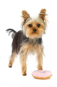 Yorkshire-terrier mit donutspielzeug