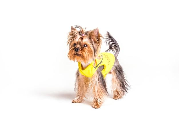 Yorkshire-terrier mit pferdeschwanz und gelbem mantel