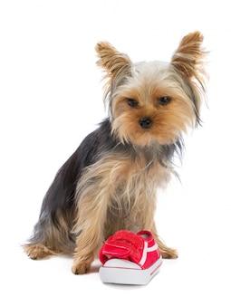 Yorkshire-terrier mit sportschuh