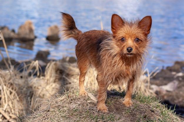 Yorkshire terrier steht auf einem hügel am wasser