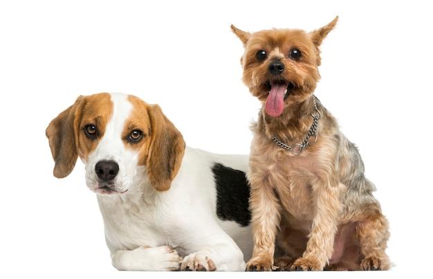 Yorkshire terrier und beagle welpe nebeneinander isoliert auf weiß