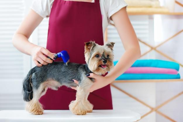Yorkshire-terrierhund am haar-verkleinerungsverfahren