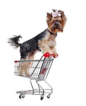 Yorkshire-terrierwelpe auf hinterbeinen in einer einkaufslaufkatze, die die kamera untersucht