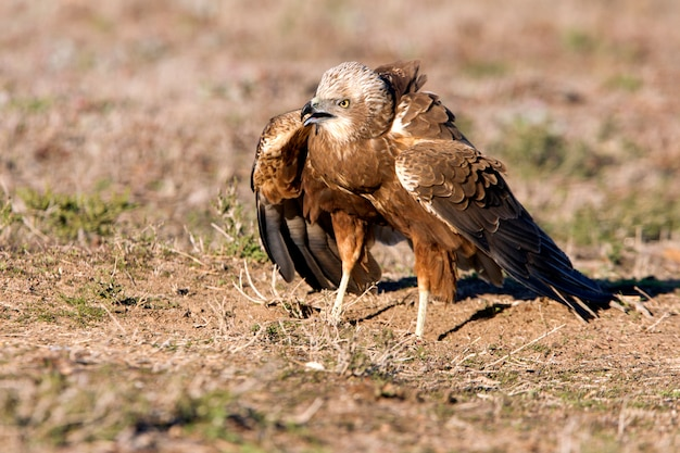 Young of western marsh harrier mit den letzten lichtern des nachmittags