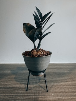 Zamioculcas zamiifolia in einem kleinen topf