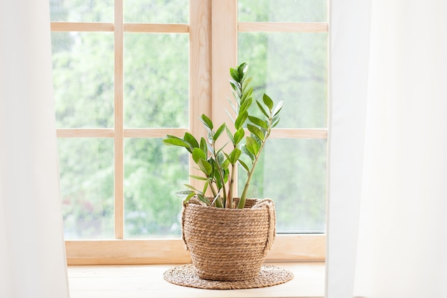 Zamioculcas-zimmerpflanze im strohtopf steht auf einer fensterbank. zimmerpflanzen auf der fensterbank. konzept der hausgartenarbeit. zamioculcas im blumentopf auf fensterbrett zu hause. skandinavisch. platz für text