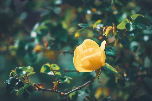 Zarte blume eines bet figueras rosenstrauchs
