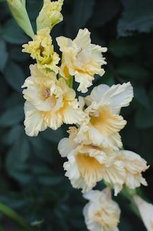 Zarte gelbe gladiolen im sommergarten