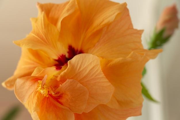 Zarte gelbe oder pfirsichfarbene chinesische rose nahaufnahme stempel und staubblätter