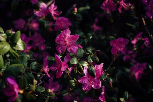 Zarte rosa blüten des altai maralnik, nahaufnahme, unscharfer hintergrund. blühender strauch, kirsche, mandel. pflanzenhintergrund, postkarte, platz für text.