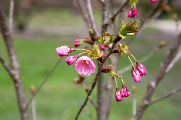 Zarte rosa blüten von kirschbaum-frühling blühenden kanzan-baum-nahaufnahmehintergrund