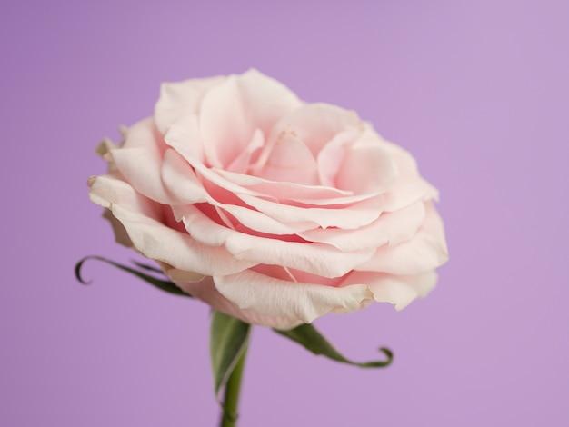 Zarte rose auf lila hintergrund