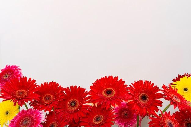 Zarte schöne gerberablume von unten auf weißem hintergrund, flache lage und draufsicht, nahaufnahme mit platz für text ausgelegt.
